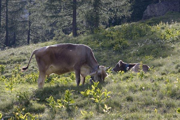 vacche-pascolo3b